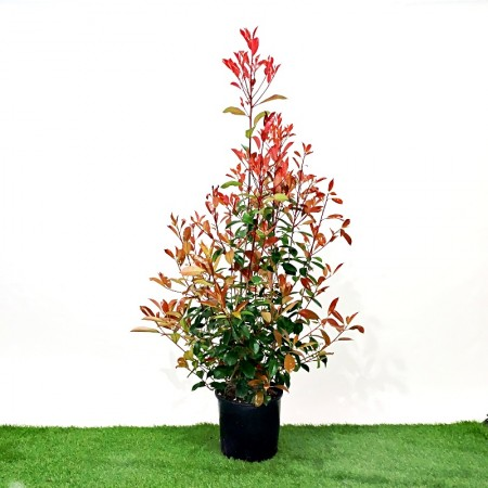Photinia red robin vaso 24